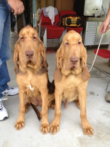 Cocoa & Buster - Two of Willie's offspring at 5 months old